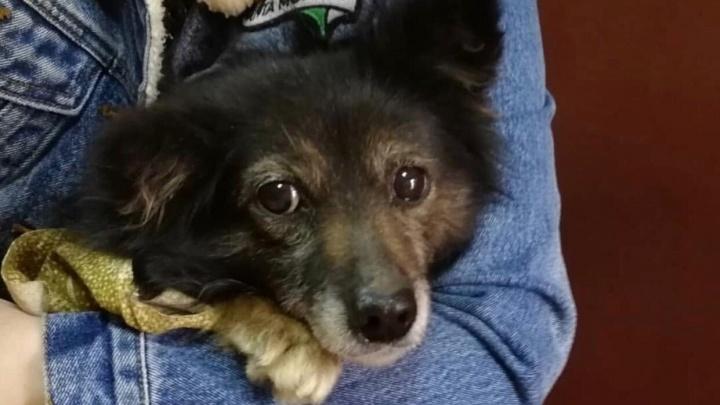 «Придется сделать аборт»: беременную собаку сбили и бросили умирать на дороге под Волгоградом
