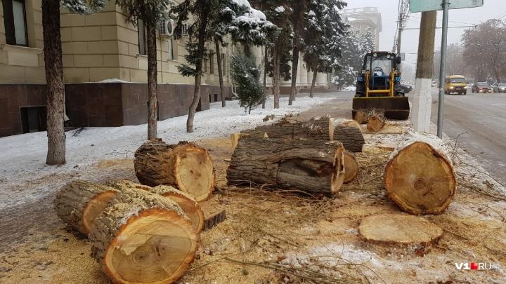 «Дендрофобия Волгоградской области»: под носом у чиновников вырубают здоровые тополя