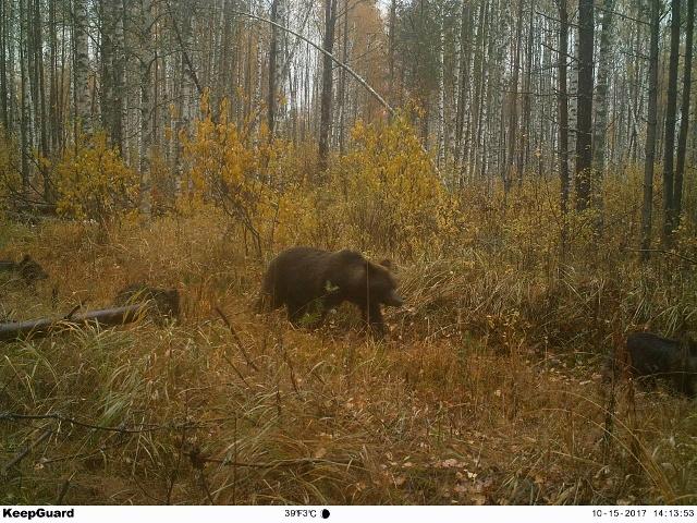 В отношениях медведей доминирует самка с потомством