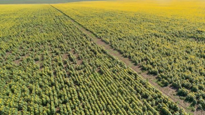 С прожилками желтых цветов: волгоградский фотограф покружил над полями подсолнухов