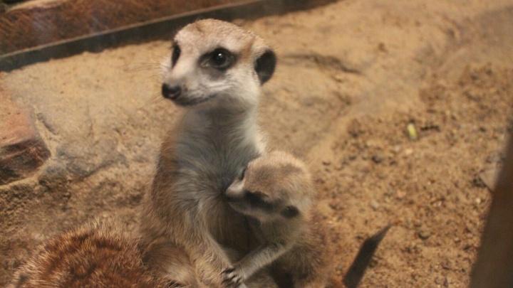 В Большереченском зоопарке родились любопытные малыши-сурикаты