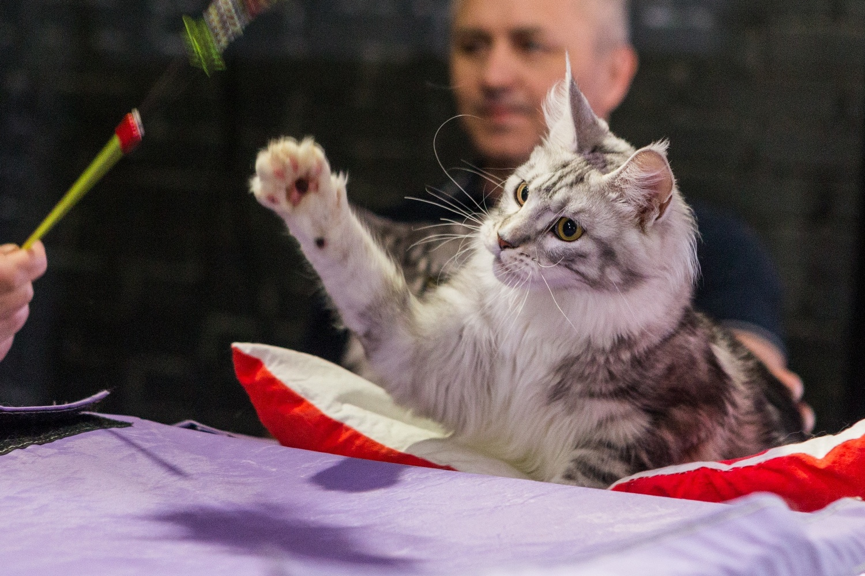 Красивые и титулованные котики тоже не прочь погоняться за игрушкой на верёвочке