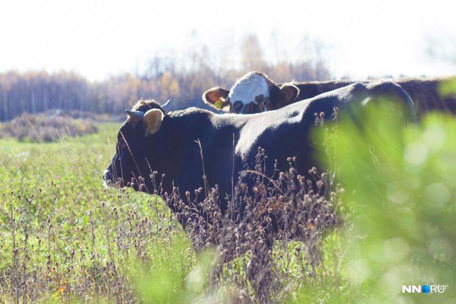 ВНижегородской области начнут делать санкционный сыр