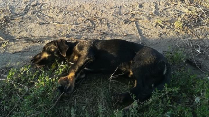 «Она лежит и не встаёт»: волгоградка ищет хозяина сбитой машиной собаки