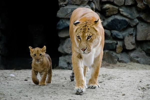 За время жизни лигрица Зита родила шесть лигрят. Фото 2013 года