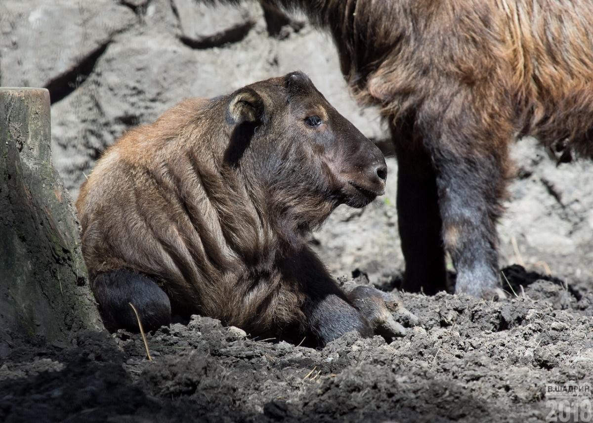 Первые такины появились в Новосибирском зоопарке в 2005 году