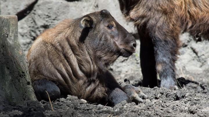 Фото: у такинов в Новосибирском зоопарке родился детёныш