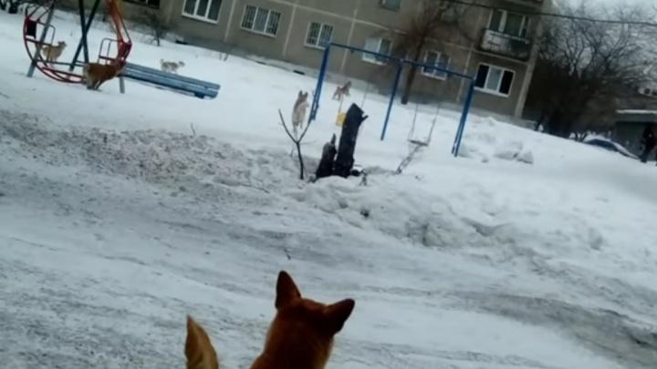 """""""Беспредел нарастает"""": в Ревде бродячие собаки набросились на ребёнка и женщину, которая его защищала"""