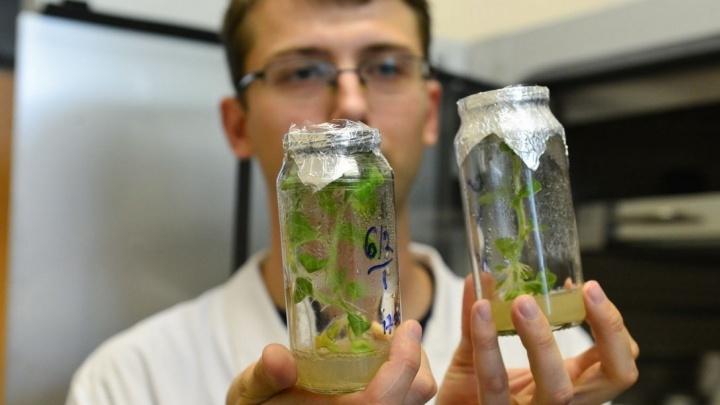 Учёные против мифов: кому страшна картошка с ГМО и как выделить ДНК у себя на кухне