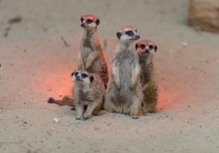 В Ростовском зоопарке родились сурикаты