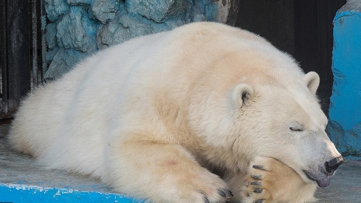 Для белой медведицы в «Роевом ручье» строят берлогу