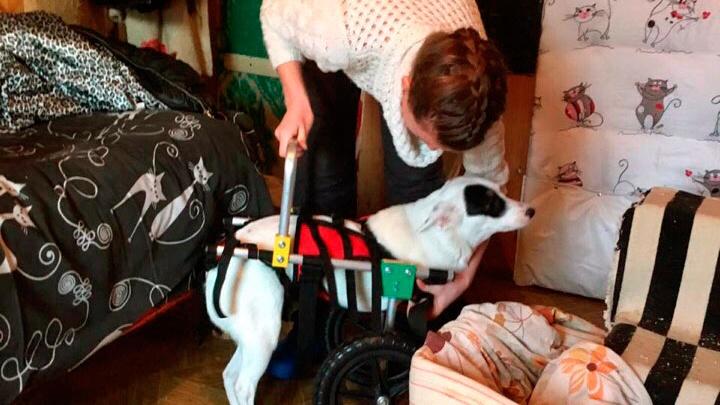 Новосибирцы купили двухлапой собаке Монике коляску с огромными колёсами