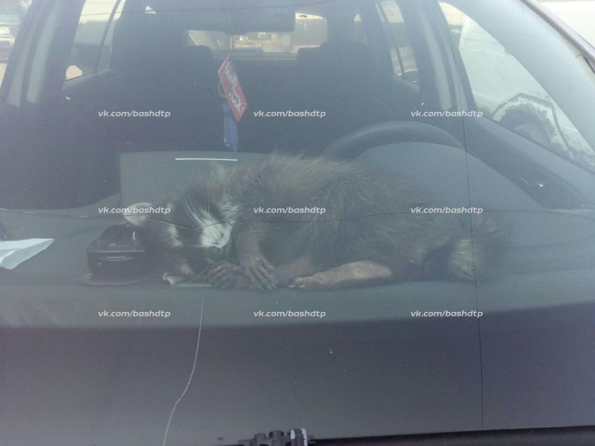 «Охранник» машины сладко спал, пока на него смотрели зеваки