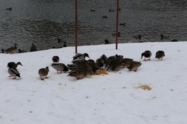 Этих крякв на озере Теплом накормили распаренными зерновыми с овощами. Еда пришлась им по вкусу