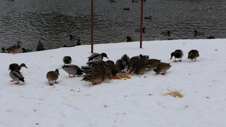 Гоголь или кряква: волонтеры подсчитали, сколько птиц осталось на зимовку в Башкирии