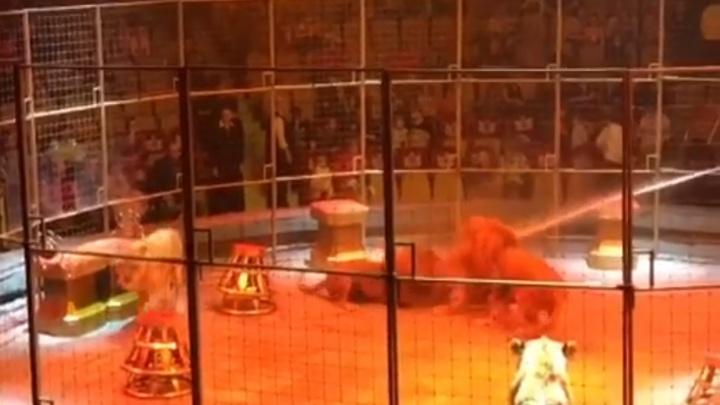 В Екатеринбургском цирке во время представления подрались львы