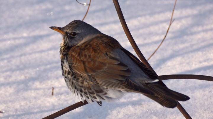 Забывшие улететь на зимовку дрозды из заповедника научились добывать пищу из-под снега