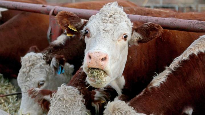 Вложат 17 миллиардов рублей: в Башкирии построят три животноводческих комплекса на 3300 голов
