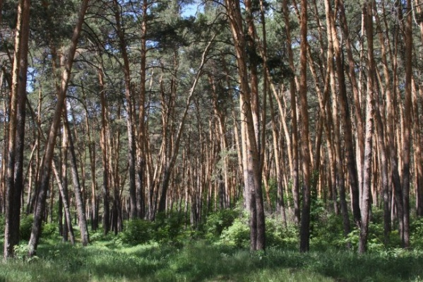 В бору незаконно вырубили 86 сосен