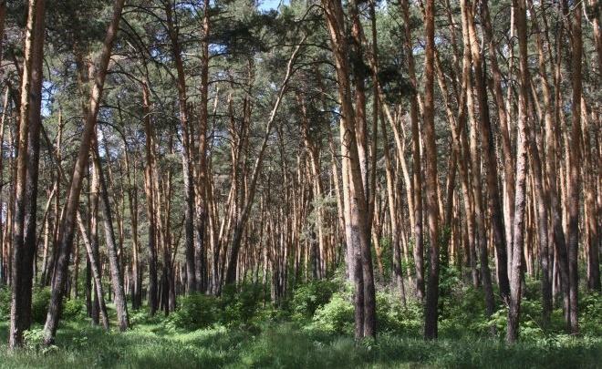 За незаконную вырубку сосен в Кировском бору заплатит Юргамышский лесхоз