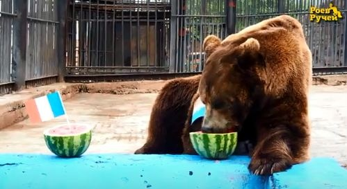 Медведь Буян предсказал чемпиона мира по футболу 2018 и ошибся. Каково ему сейчас?