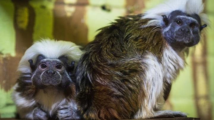 Красноярскому Эйнштейну в зоопарке нашли невесту-ровесницу