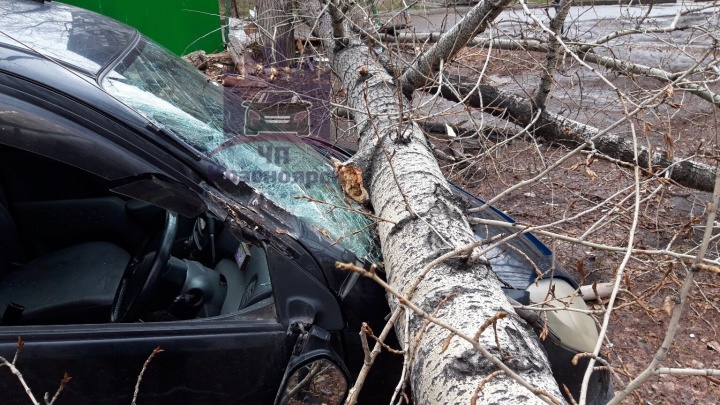 В Красноярске из-за ветра огромный тополь рухнул на «Тойоту»
