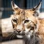 За убитую рысь в Белозерском районе три браконьера должны заплатить 60 тысяч рублей
