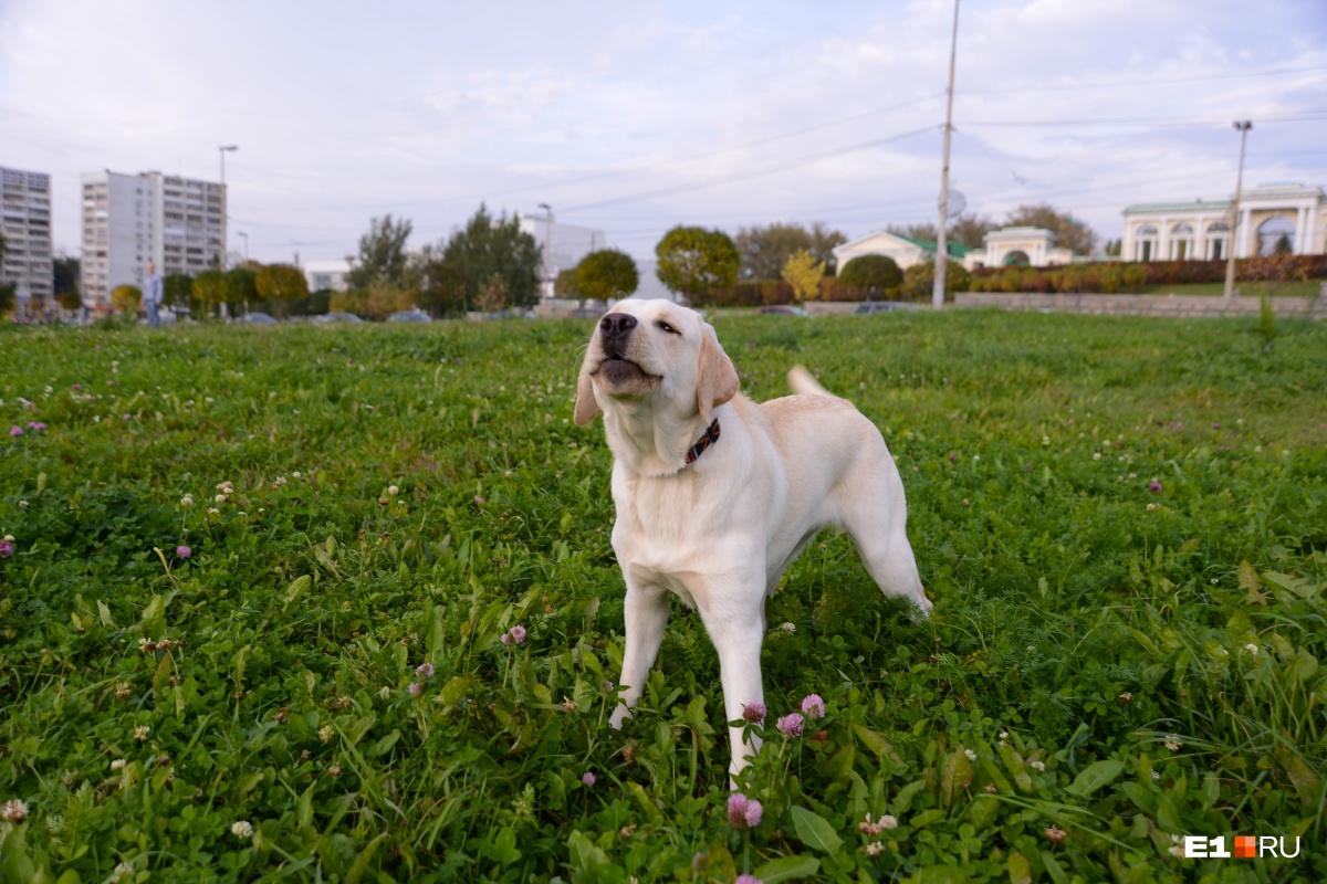 Делая прививку от бешенства собаке, хозяин защищает и себя от смертельного заболевания