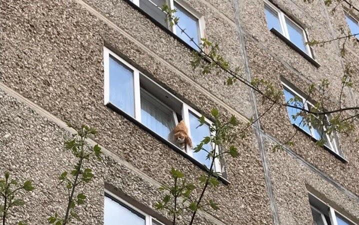 Кот, застрявший в окне в мае 2017 года. Волонтеры пришли к выводу, что он был брошен в пустой квартире