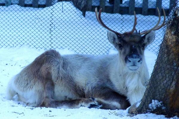 На то он и северный олень, чтобы позволить себе полежать на снегу в мороз