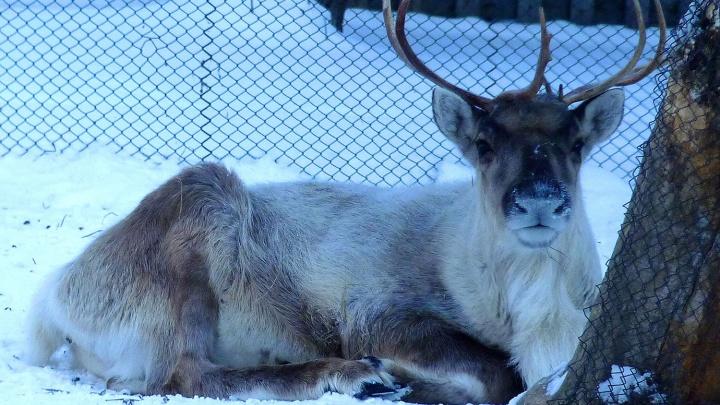 Пушистые и в инее: как животные в Большереченском зоопарке переживают морозы
