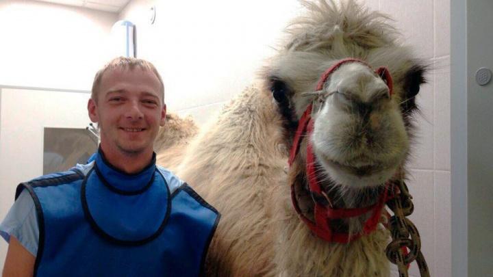 Верблюдицу Монро привели к врачам с жалобами на зубную боль