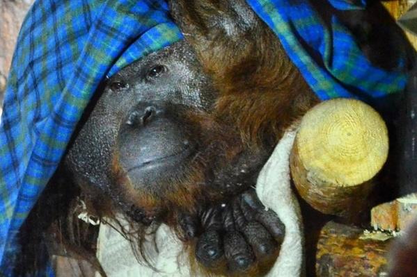 Холодная уральская зима для приматов— испытание