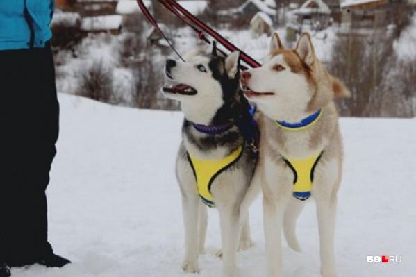 Хаски — ездовая порода собак. Любимое развлечение зимой — таскать за собой нарты. Собаки очень активные и дружелюбные