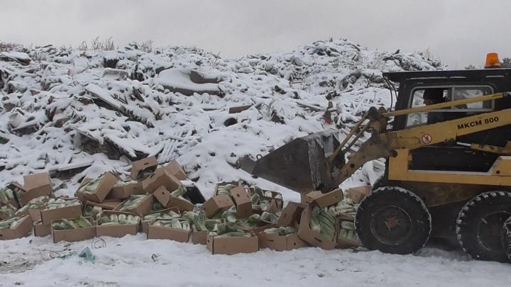 В Зауралье уничтожили более 800 килограммов зараженной вредителями пекинской капусты