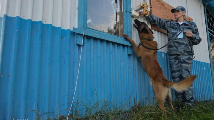 """В Новоуральске служебные собаки обезвредили """"бандитов"""", которые сымитировали дерзкое ограбление банка"""