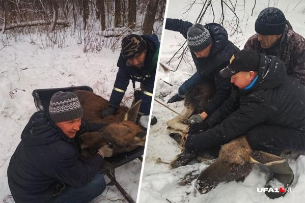Животное было крайне напугано и готово было рвануть от спасателей, если бы не травма