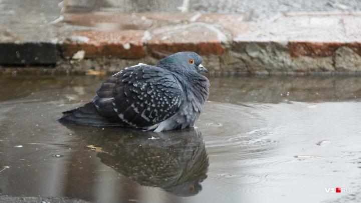 «Мёртвые голуби крайне опасны»: в Волгограде голубиные стаи косит неизвестная болезнь