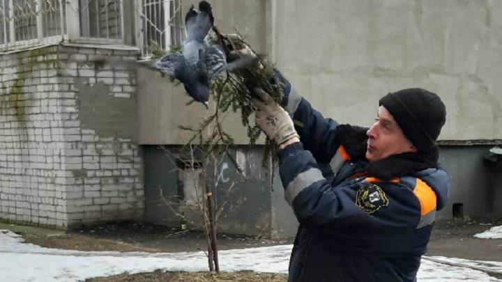 Стал пленником ёлочного украшения: ярославские спасатели освободили голубя