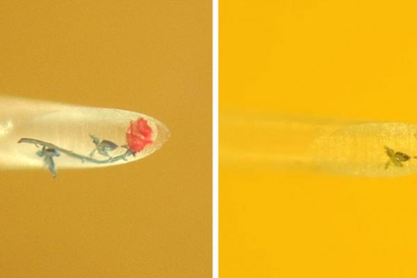 Миниатюрная роза на срезе человеческого волоса до повреждения (на фото слева) и после
