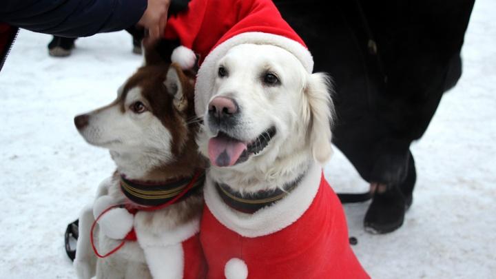 Омичи нарядили собак в Санту и Снегурочку и устроили шоу на Театральной площади