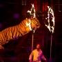 «Дрессировщик поступил верно»: тигр забился в припадке на глазах у зрителей в южноуральском цирке