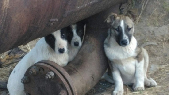 В Ярославской области живодёры отравили щенков