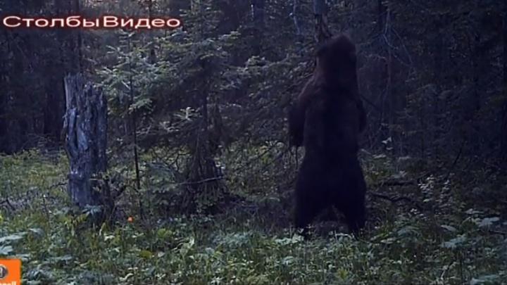 Медведь устроил «эротические» танцы у дерева на «Столбах»