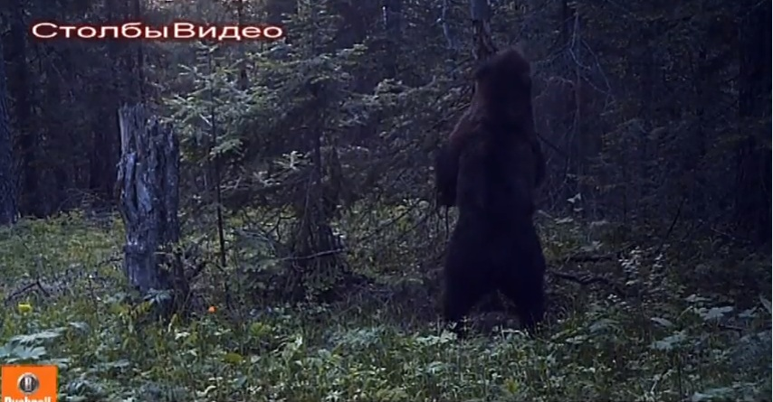 Вкрасноярском заповеднике «Столбы» сняли танцующего медведя