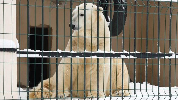 Гостевой брак: медведь из ростовского зоопарка переехал к невесте в Казань
