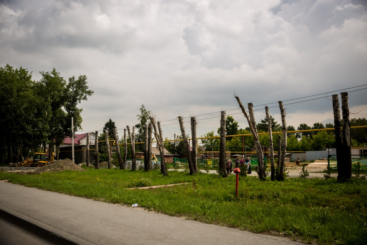 Засохшие тополя вдоль Мочищенского шоссе