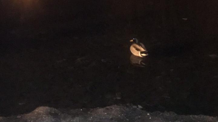 «Уточку жалко!»: в МП «Парки Самары» рассказали о сроках очистки озер