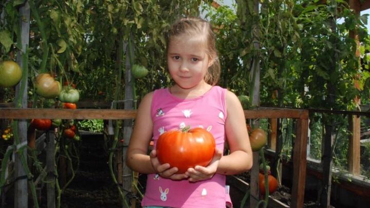 Сегодня в Минусинске выбирают самый большой помидор. Смотрим на плоды-гиганты